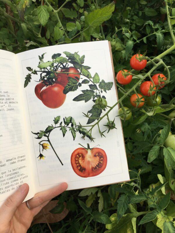 Observations de saison je pousse en été Tomates